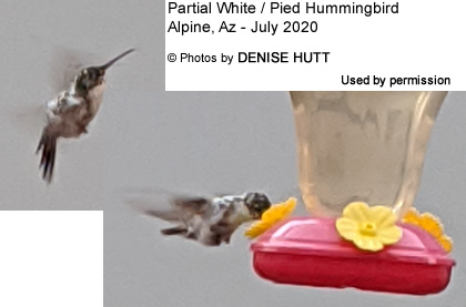 Pied Hummingbird photographed in Alpine, Arizona by Dennis Hutt