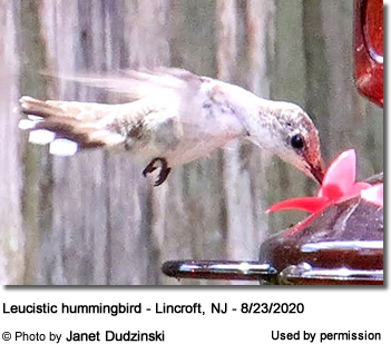 Leucistic (Partial White) Hummingbird in New Jersey