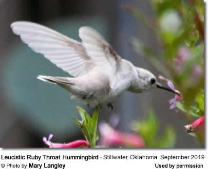 Leucistic / Partial White Hummingbird sighted in Stillwater, Okhaloma