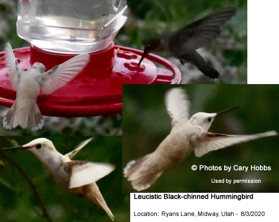 Leucistic / Partial White Hummingbird recorded in Midway, Utah by Cary Hobbs