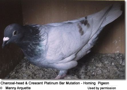 Charcoal-head and Crescent Platinum Bar Mutation - Homing Pigeon