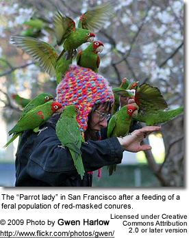 Cherry-headed Conures being fed by the Parrot Lady in San Francisco