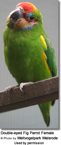 Female Double-eyed Fig Parrot