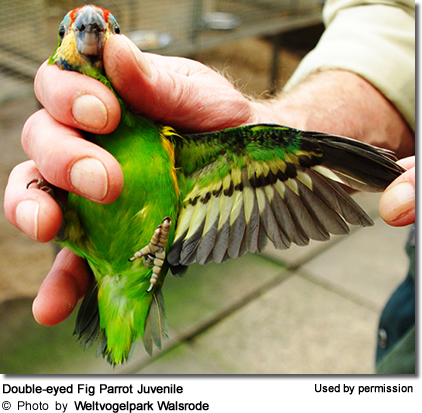 Double-eyed Fig Parrot Juvenile (after fledging)