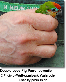 Double-eyed Fig Parrot Juvenile