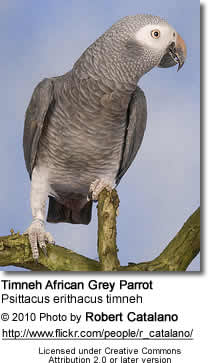 Timneh African Grey Size