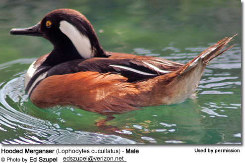 Hooded Merganser (Lophodytes cucullatus) - Male