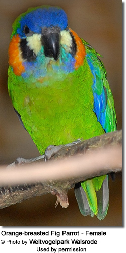 Orange-breasted Fig Parrot - Female