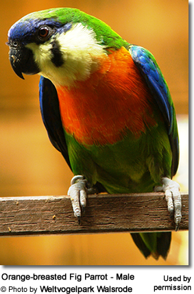 Orange-breasted Fig Parrot - Male