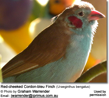 Red-cheek Cordon-bleu Finches (Uraeginthus bengalus)