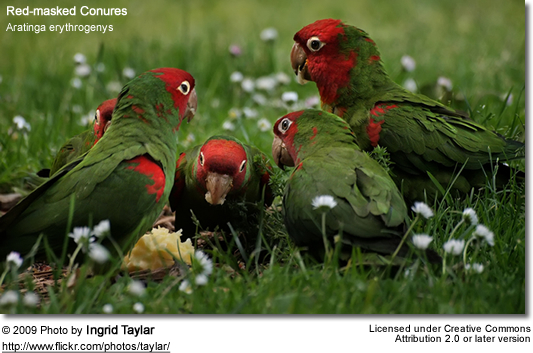Cherry-headed Conures eating