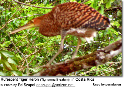 Rufescent Tiger Herons (Tigrisoma lineatum)