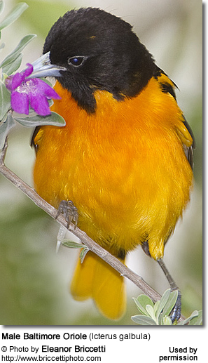 Baltimore Oriole (Icterus galbula) - also known as Abeille's Oriole - was formerly combined with the Bullock's Oriole as a single species and both were known as the Northern Oriole.