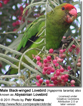 Male Black-winged Lovebird (Agapornis taranta) also known as Abyssinian Lovebird