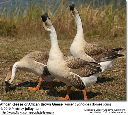 African Goose or African Brown Goose (Anser cygnoides domesticus)