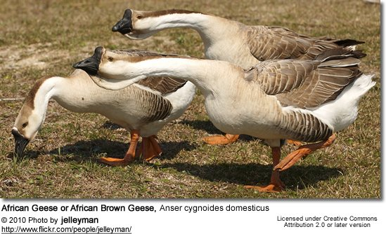 African Geese or African Brown Geese, Anser cygnoides domesticus