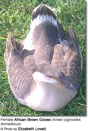 Female African Brown Goose (Anser cygnoides domesticus)
