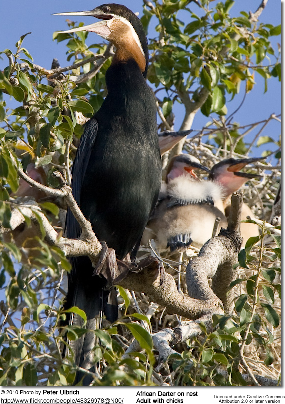 African Darter on nest - adult with chicks