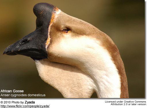 African Goose (Anser cygnoides domesticus)