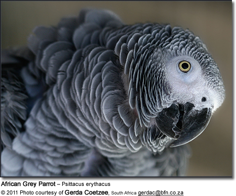 African Grey Sexing 60