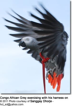 Congo African Grey exercising with his harness on