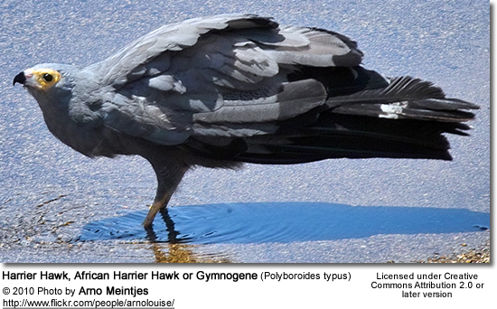 Harrier Hawk,