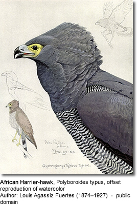 African Harrier-hawk,