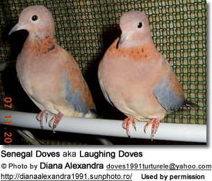 Pair of African Laughing Doves