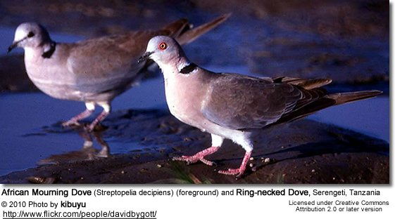 African Mourning Dove (Streptopelia decipiens) (foreground) and Ring-necked Dove, Serengeti, Tanzania