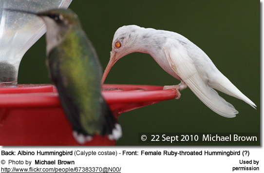 Back: Albino Hummingbird (Calypte costae) - Front: Female Black-chinned Hummingbird (?)