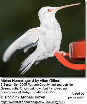 Albino Hummingbird (Ruby-throat)?
