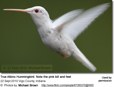 Albino Hummingbird by Michael Brown