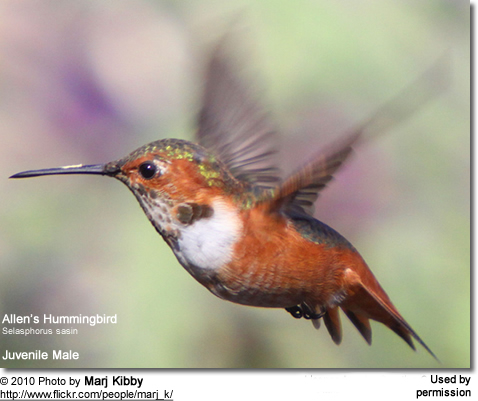 Allen's Hummingbird, Selasphorus sasin