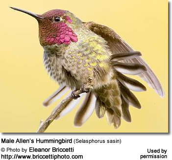 Male Anna's Hummingbird (Selasphorus sasin)