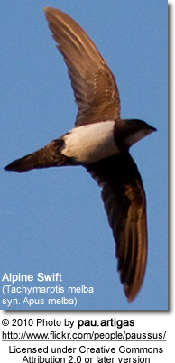 Alpine Swift (Tachymarptis melba syn. Apus melba)