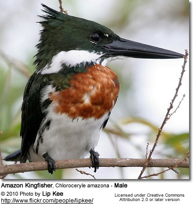 Amazon Kingfisher, Chloroceryle amazona