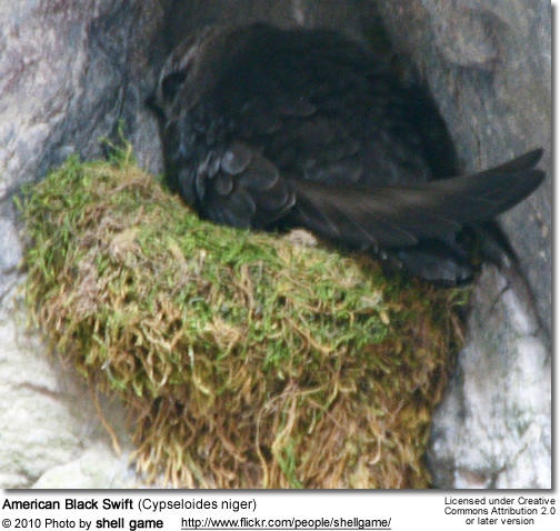 American Black Swift (Cypseloides niger)
