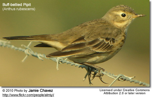 Buff-bellied Pipit (Anthus rubescens) - also referred to as American Pipit
