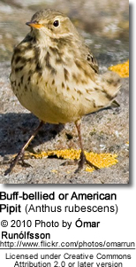 Buff-bellied or American Pipit (Anthus rubescens