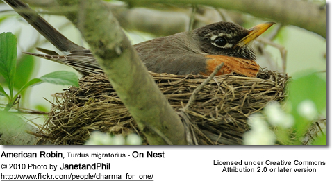 American Robin, Turdus migratorius - On Nest