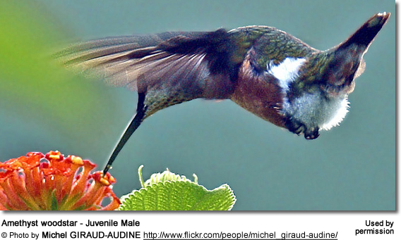 Amethyst-throated Hummingbird (Lampornis amethystinus)