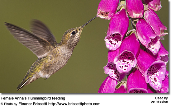 Female Anna's Hummingbird feeding