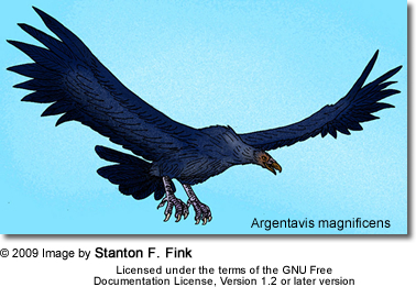 "Argentavis magnificens (literally ""magnificent Argentine bird"") is the largest flying bird ever discovered. This bird, sometimes called the Giant Teratorn"