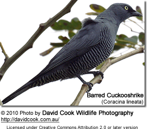 Barred Cuckooshrike (Coracina lineata), also called the Yellow-eyed Cuckooshrike