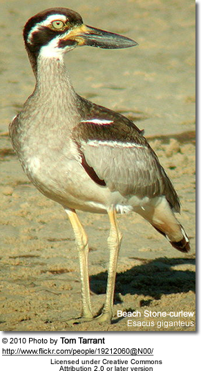Beach Stone-curlew, Esacus giganteus also known as Beach Thick-knee