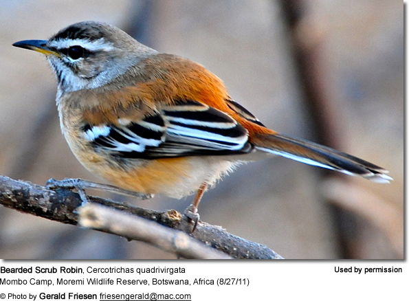 The Bearded Scrub Robin (Cercotrichas quadrivirgata)