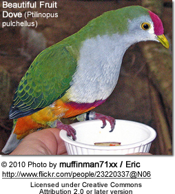 Beautiful Fruit Dove (Ptilinopus pulchellus)