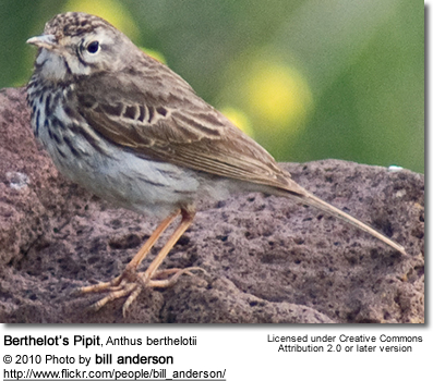 Berthelot's Pipit, Anthus berthelotii