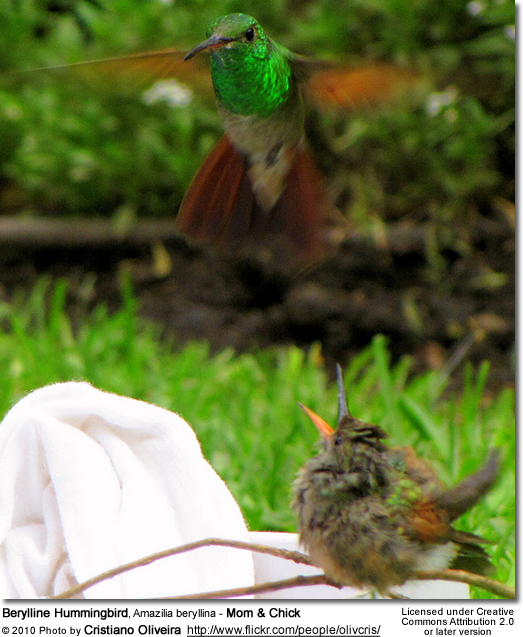 Berylline Hummingbird, Amazilia beryllina - Mom and Chick