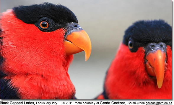 Black Capped Lories, Lorius lory lory